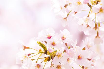 桜 リラックス